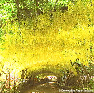 Photographs - Laburnum Arch at Bodnant Gardens