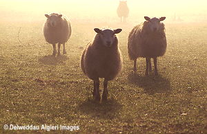 Photographs - Sheep in the mist