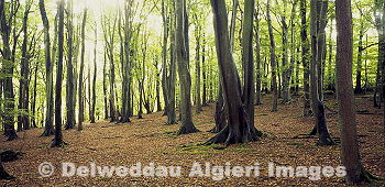 Photographs - Beech Woodland