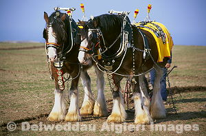 Photographs - Shire Horses