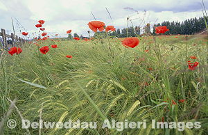 Photographs - Poppies