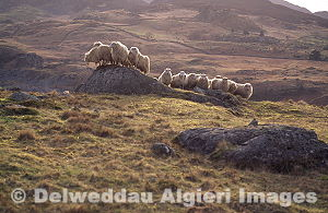 Photographs - Welsh Mountain sheep