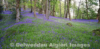 Photographs - Bluebell Wood