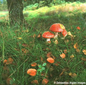 Photographs - Fungus in the Woods (Fly Agaric)