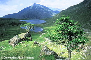 Photographs - Mountain Ash trees, Cwm Idwal