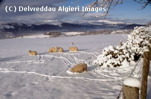 Photographs - Sheep in winter