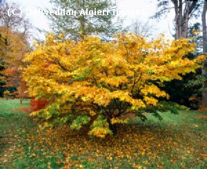 Photographs - Acer tree