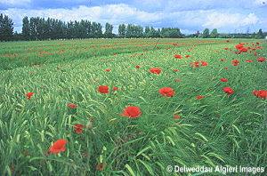 Photographs - Poppy Field