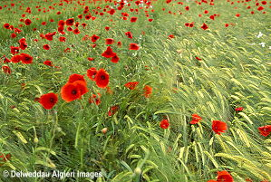 Photographs - Wild Poppies.