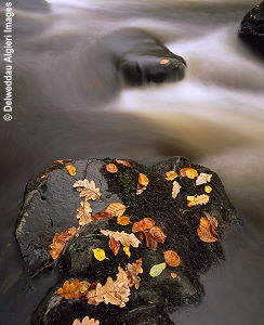 Photographs - Autumn leaves. Afon Conwy.