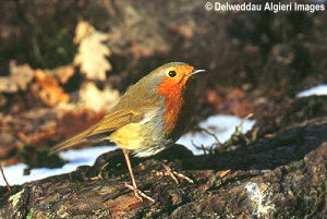 Photographs - Robin