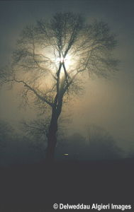 Photographs - Tree in Morning Mist