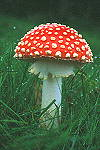 Toadstool Fly Agaric - click here for more info