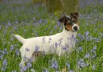 Jack Russell - click here for more info