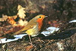 Robin - click here for more info